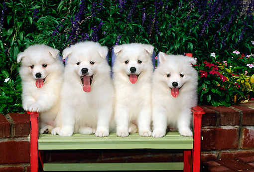 PUP 38 CE0005 01 © Kimball Stock Four American Eskimo Puppies Sitting On Bench By Flowers And Shrubs
