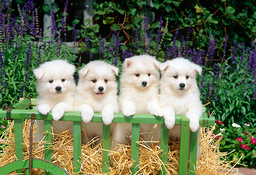 PUP 38 CE0006 01 © Kimball Stock Four American Eskimo Puppies Sitting On Hay In Cart By Flowers Shrubs