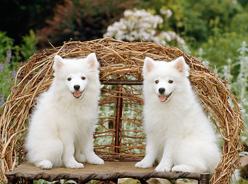 PUP 38 CE0007 01 © Kimball Stock Two American Eskimo Puppies Sitting On Twig Bench In Garden