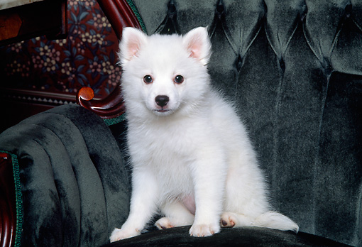 PUP 38 RK0013 01 © Kimball Stock American Eskimo Dog Puppy Sitting On Green Velvet Chair