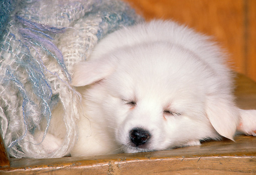 PUP 38 RK0014 02 © Kimball Stock American Eskimo Puppy Sleeping On Wooden Chair