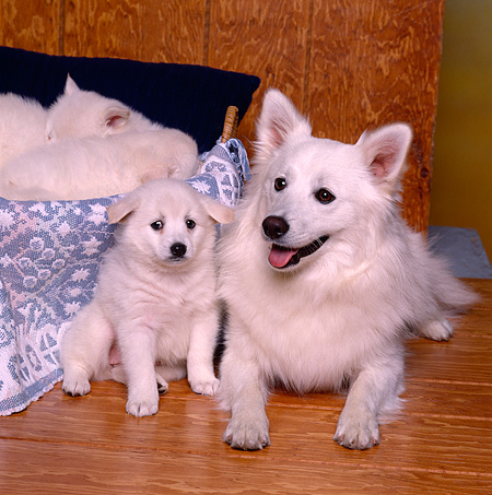 PUP 38 RK0016 06 © Kimball Stock American Eskimo Mom And Puppy Laying Together On Wooden Floor