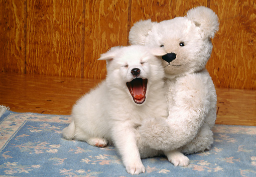 PUP 38 RK0022 02 © Kimball Stock American Eskimo Puppy Yawning Sitting Next To Teddy Bear On Blue Rug
