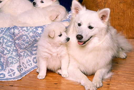 PUP 38 RK0027 03 © Kimball Stock American Eskimo Mom And Puppy Laying Together On Wooden Floor By Other Pups