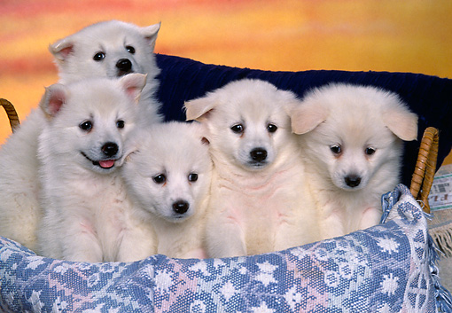 PUP 38 RK0032 03 © Kimball Stock A Group Of American Eskimo Puppies Sitting In Basket With Blue Blanket Facing Camera Sunset Background