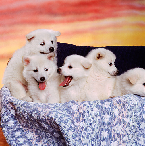 PUP 38 RK0034 03 © Kimball Stock A Group Of American Eskimo Puppies Sitting In A Basket With Light Blue Rug Sunset Background