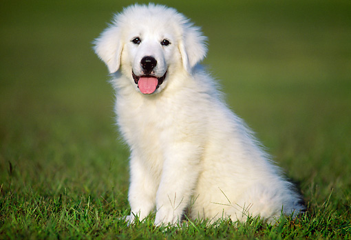 PUP 39 GR0002 01 © Kimball Stock Great Pyrenees Puppy Sitting On Grass
