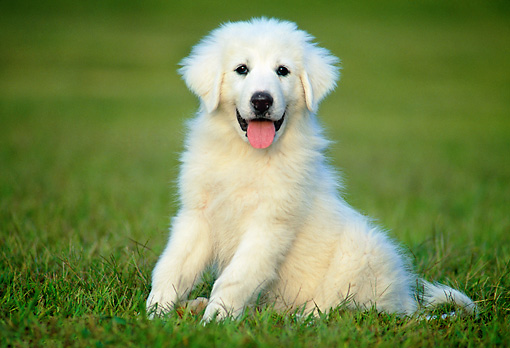 PUP 39 GR0004 01 © Kimball Stock Great Pyrenees Puppy Sitting On Grass