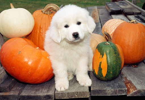 PUP 39 JN0001 01 © Kimball Stock Great Pyrenees Puppy Sitting By Pumpkins And Gourds