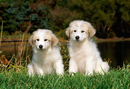 PUP 39 CE0001 01 © Kimball Stock Two Great Pyrenees Puppies Sitting On Grass By Lake And Trees