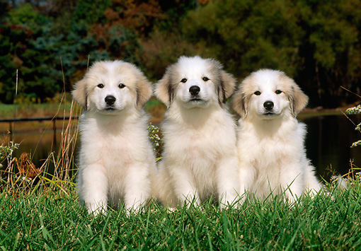 PUP 39 CE0002 01 © Kimball Stock Three Great Pyrenees Puppies Sitting On Grass By Lake And Trees