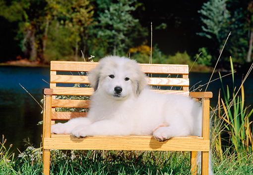 PUP 39 CE0004 01 © Kimball Stock Great Pyrenees Puppy Laying On Bench On Grass By Lake And Trees