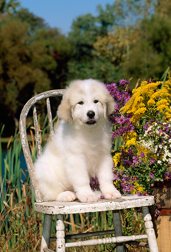 PUP 39 CE0006 01 © Kimball Stock Great Pyrenees Puppy Sitting On Chair By Flowers Lake And Trees