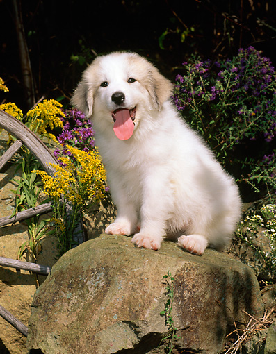 PUP 39 CE0008 01 © Kimball Stock Great Pyrenees Puppy Sitting On Rock By Flowers And Wagon Wheel