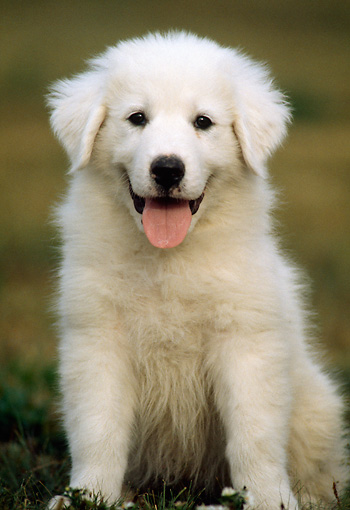 PUP 39 GR0001 06 © Kimball Stock Great Pyrenees Puppy Sitting On Grass