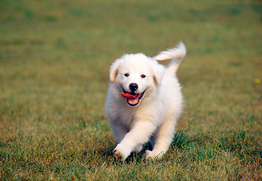PUP 39 GR0003 01 © Kimball Stock Great Pyrenees Puppy Running On Grass Towards Camera