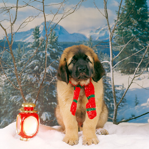 PUP 40 RS0006 04 © Kimball Stock Leonberger Puppy Wearing Scarf On Snow Trees Background