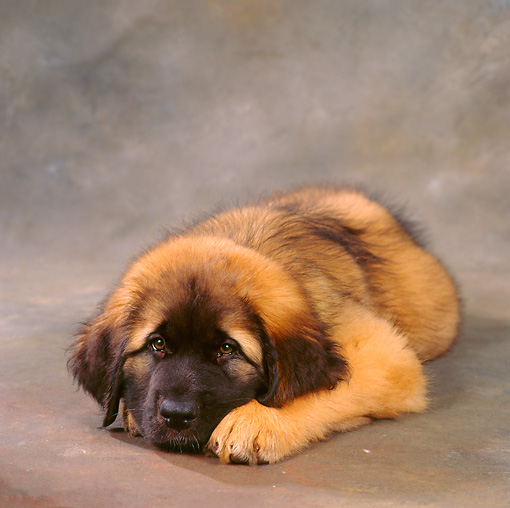 PUP 40 RS0007 01 © Kimball Stock 9 Week Old Leonberger Laying Down
