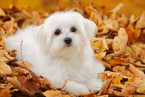 PUP 41 PE0003 01 © Kimball Stock Maltese Puppy Laying In Autumn Leaves