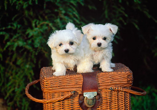 PUP 41 CE0001 01 © Kimball Stock Two Maltese Puppies Standing On Wicker Picnic Basket By Tree
