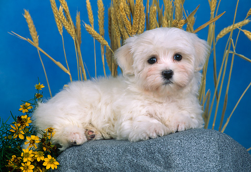 PUP 41 CE0002 01 © Kimball Stock Maltese Puppy Laying On Rock By Yellow Flowers And Wheat