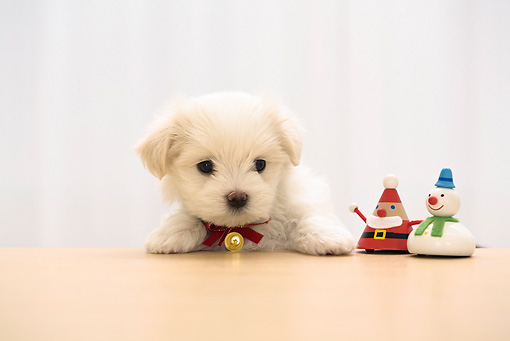 PUP 41 YT0002 01 © Kimball Stock Maltese Puppy Standing At Coffee Table With Christmas Toys