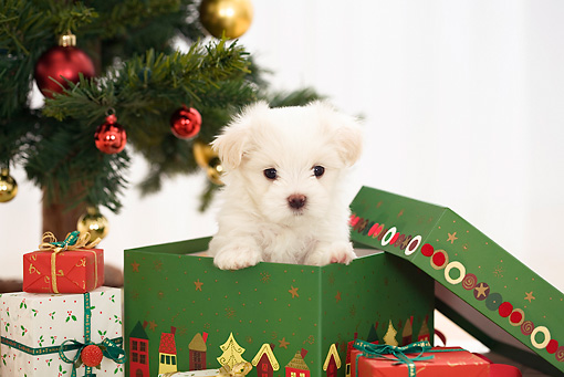 PUP 41 YT0003 01 © Kimball Stock Maltese Puppy Peeking Out Of Present By Christmas Tree