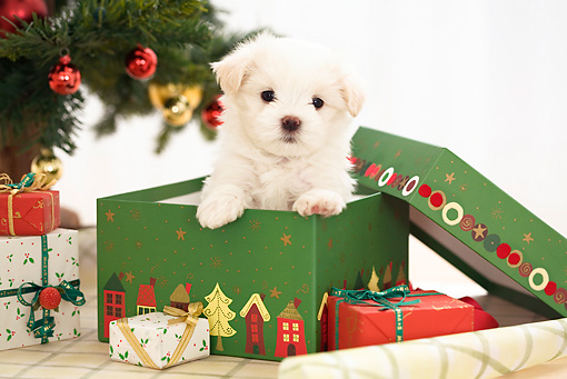PUP 41 YT0004 01 © Kimball Stock Maltese Puppy Peeking Out Of Present By Christmas Tree