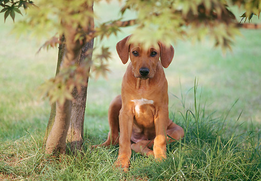 PUP 42 AB0001 01 © Kimball Stock Rhodesian Ridgeback Puppy Sitting On Lawn By Tree