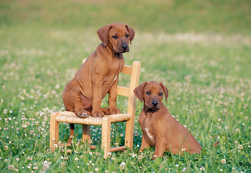 PUP 42 CB0001 01 © Kimball Stock Two Rhodesian Ridgeback Puppies Sitting By Chair In Grass