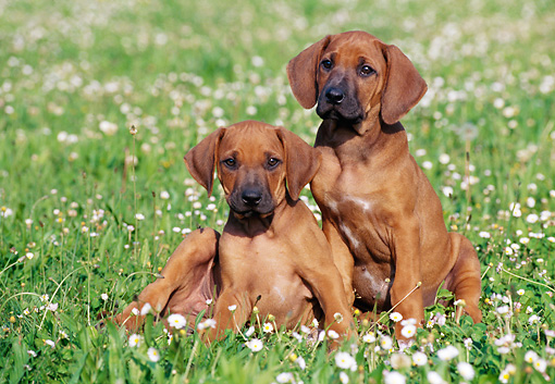 PUP 42 CB0002 01 © Kimball Stock Two Rhodesian Ridgeback Puppies Sitting In Grass And Wildflowers