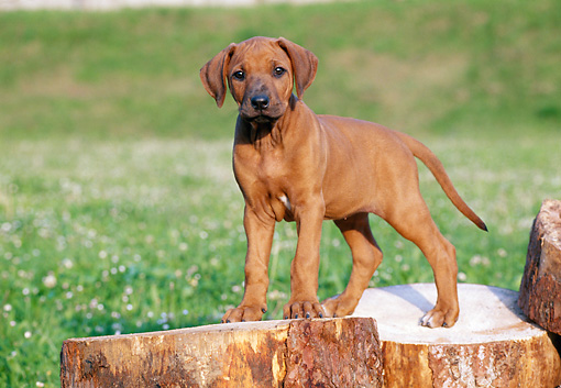 PUP 42 CB0003 01 © Kimball Stock Rhodesian Ridgeback Puppy Standing On Stumps In Lawn