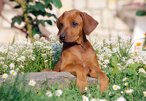 PUP 42 CB0004 01 © Kimball Stock Rhodesian Ridgeback Puppy Laying On Rock In Garden