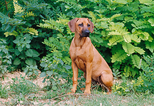 PUP 42 CB0005 01 © Kimball Stock Rhodesian Ridgeback Puppy Sitting On Grass