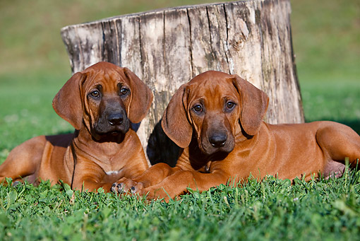 PUP 42 CB0007 01 © Kimball Stock Two Rhodesian Ridgeback Puppies Laying On Grass By Stump