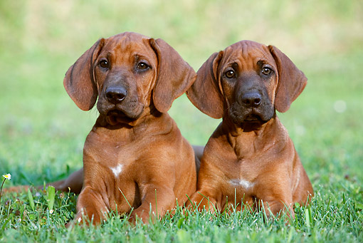 PUP 42 CB0008 01 © Kimball Stock Two Rhodesian Ridgeback Puppies Laying On Grass