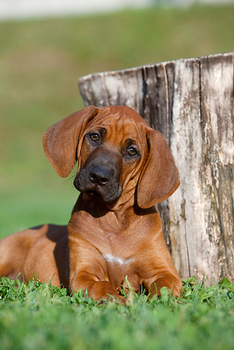PUP 42 CB0009 01 © Kimball Stock Rhodesian Ridgeback Puppy Laying On Grass By Stump