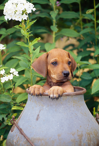 PUP 42 CE0004 01 © Kimball Stock Rhodesian Ridgeback Puppy Peeking Out From Inside Bucket