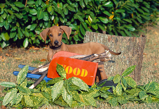 PUP 42 CE0005 01 © Kimball Stock Rhodesian Ridgeback Puppy Standing By Toy Wheelbarrow With Sticks