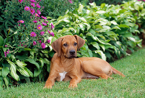 PUP 42 CE0008 01 © Kimball Stock Rhodesian Ridgeback Puppy Laying On Grass By Pink Flowers