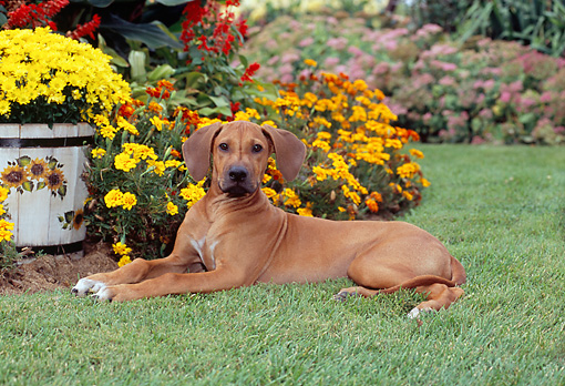 PUP 42 CE0009 01 © Kimball Stock Rhodesian Ridgeback Puppy Laying On Grass By Garden