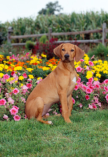 PUP 42 CE0010 01 © Kimball Stock Rhodesian Ridgeback Puppy Sitting On Grass By Garden