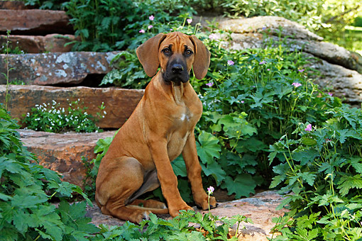 PUP 42 DB0001 01 © Kimball Stock Rhodesian Ridgeback Puppy Sitting On Stone Steps