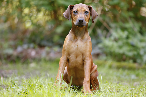 PUP 42 JE0001 01 © Kimball Stock Rhodesian Ridgeback Puppy Sitting On Grass