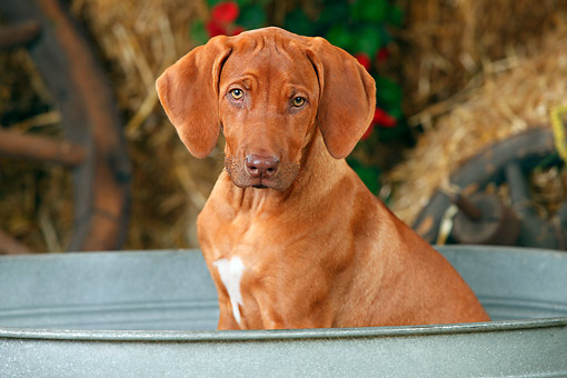 PUP 42 PE0008 01 © Kimball Stock Close-Up Of Rhodesian Ridgeback Puppy Sitting In Wash Basin