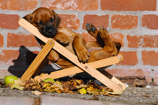 PUP 42 SS0004 01 © Kimball Stock Rhodesian Ridgeback Puppy Sleeping On Deck Chair
