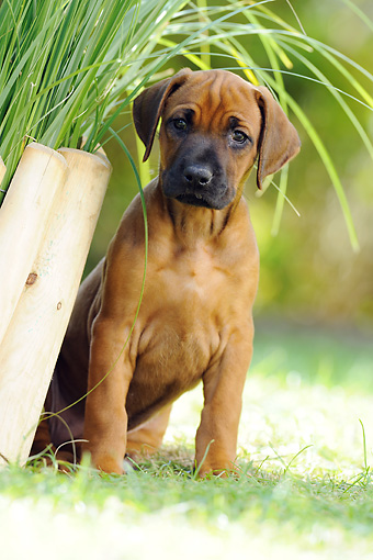 PUP 42 SS0005 01 © Kimball Stock Rhodesian Ridgeback Puppy Sitting On Grass