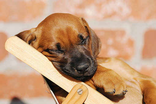 PUP 42 SS0006 01 © Kimball Stock Close-Up Of Rhodesian Ridgeback Puppy Sleeping On Deck Chair