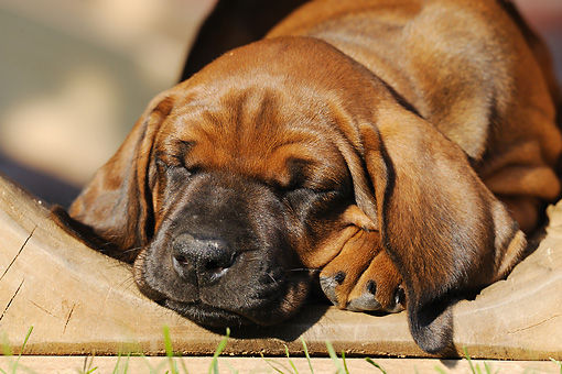 PUP 42 SS0007 01 © Kimball Stock Close-Up Of Rhodesian Ridgeback Puppy Sleeping