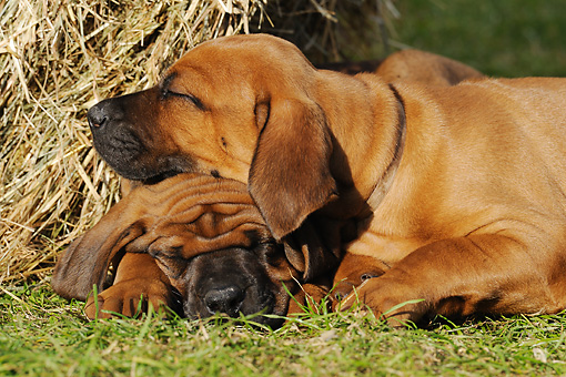 PUP 42 SS0008 01 © Kimball Stock Close-Up Of Rhodesian Ridgeback Puppies Sleeping On Grass By Straw